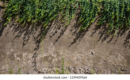 Ivy on Grey Wall