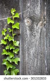 Ivy on an old door