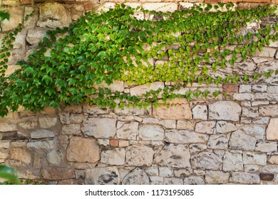 Ivy on the old wall in the summertime.