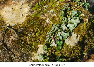 Ivy on a tree, a wild plant. The natural texture. Organic texture. The untouched nature. Beautiful plant. The plant is a parasite