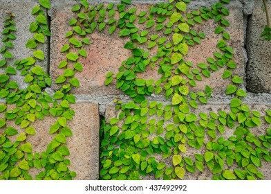 The ivy on the wall