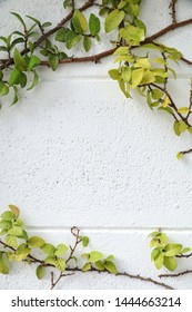 Ivy on a white cement wall. Green creeper on white wall. Ornamental plant on the wall in garden for nature background.