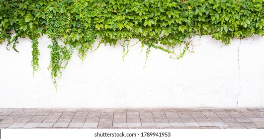Ivy on the white wall beside the road.