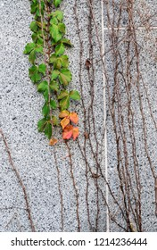 Ivy plant climbing on the wall