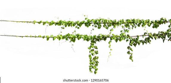 ivy plant hanging on electric wire isolate white background