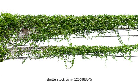 ivy plant hanging wire electric on pole isolate on white background