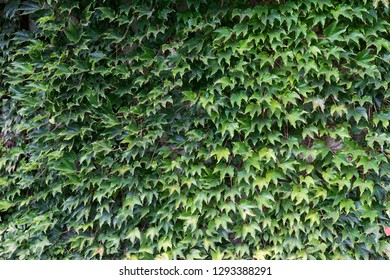Ivy plant with a lot of leaves on a fence