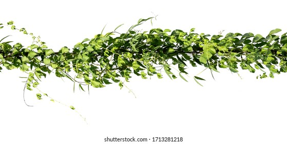 ivy plant on electric wire isolate on white background