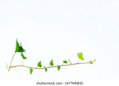 Ivy plant on white background isoltaed. plant climb with green leave in heart shape