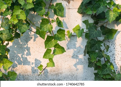 Ivy plant on a white old wall on a summer afternoon sunset. Light, shadows and a cracked wall. Green and white background. Horizontal.