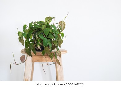 Ivy plant on wooden chair in room.