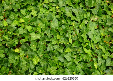 ivy plant testure as nice natural background