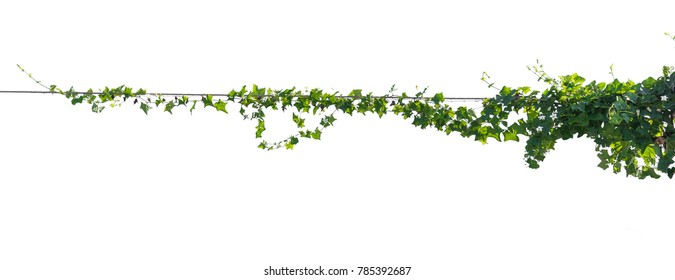 Ivy plant with wire electric isolate on white background