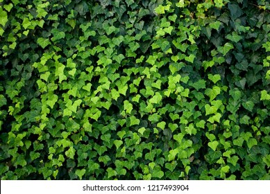 ivy plants, lianas cover a wall, leaves of different shades of green, heart shape, texture, background, garden, summer, gradation, colorful, background, italy