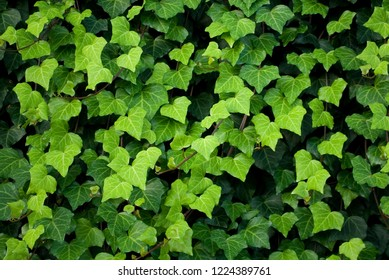ivy plants, lianas cover a wall, leaves of different shades of green, heart shape, texture, background, garden, gradation, colorful, background, italy