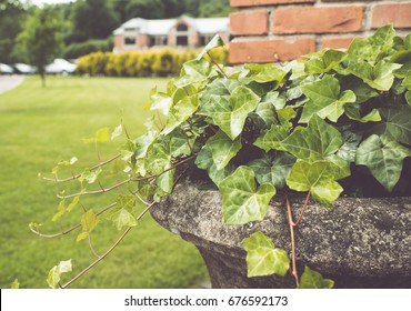 Ivy plants in pot/toned photo
