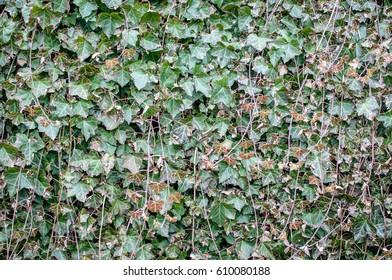 ivy texture