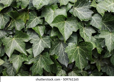 Ivy texture background (Hedera helix - common ivy, English ivy, European ivy)