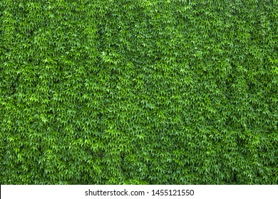 Ivy texture. Ivy hedge background. Ivyberry backdrop. Ivy wallpaper. Ivyberry backround image. Ivy wall. Green wall. Green plant texture. Green leaves background. Myrtle green background