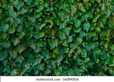 Ivy texture. Ivy hedge background. Ivyberry backdrop. Ivy wallpaper. Ivyberry backround image. Ivy wall. Green wall. Green plant texture. Green leaves background. Myrtle green background.