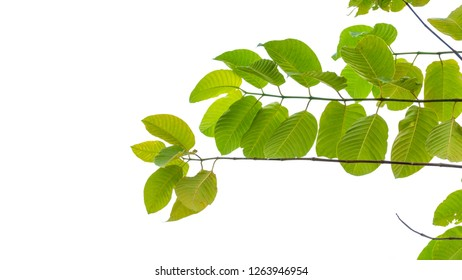 ivy tree climbing with leaf on white background
