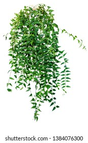 Ivy, vine, creeping plant. houseplant for home and office isolated on white background