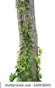 Ivy vines climbing tree trunk isolated on white background, clipping path included