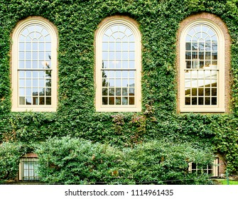 Ivy wall in Harvard at Cambridge, Massachusetts, USA.