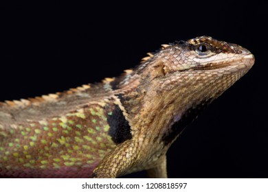 The Ivy Whorltail Iguana (Stenocercus ivitus) is endemic to Peru, it lives between Canchaque and Huancabamba.