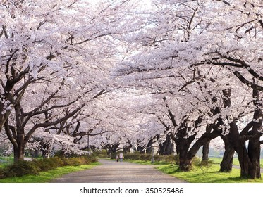 Iwate, Japan - April 17 : Mother and daugther walk in the kitakami tenshochi park, Kitakami Tenshochi Park has been selected as one of Japanâ??s top 100 sites for viewing sakura, Japan on April 17, 2015