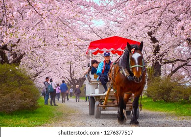 Iwate , Japan - April 22 2018: A Horse carriage carry a group of tourists rolls through the tunnel of cherry trees at Kitakami Tenshochi park, one of the best Cherry-Viewing Spots in Tohoku region