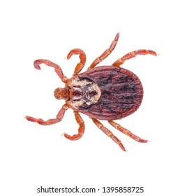 Ixodes tick Dermacentor marginatus isolated on white background. Dorsal view of acari tick.
