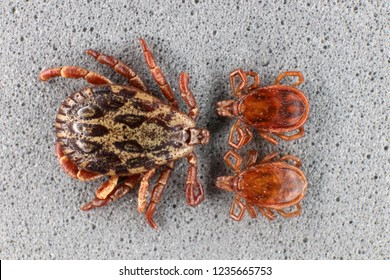 Ixodid tick (Dermacentor sp.) and hard-bodied ixodid tick (Ixodes sp.) males