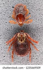 Ixodid tick (Dermacentor sp.) and hard-bodied ixodid tick (Ixodes sp.) females