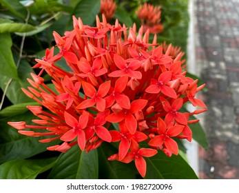 Ixora. Beautiful orange spike flower. King Ixora blooming (Ixora chinensis). Rubiaceae flower. Ixora coccinea flower in the garden.
