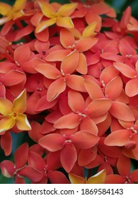 Ixora chinensis or Chinese ixora, is a species of plant of the genusIxora. Ixorais agenusofflowering plantsin thefamilyRubiaceae  and suitable choices forbonsai.