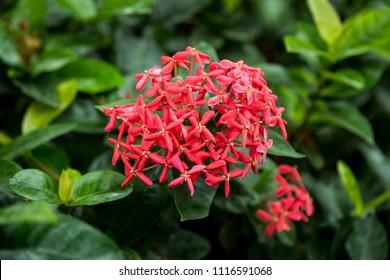 Ixora chinensis Lam.