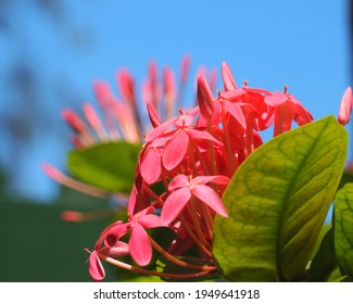 Ixora Chinensis Lamk, Ixora flower, Pink spike flower, King Ixora blooming Rubiaceae flower, West Indian Jasmine Ixora coccinea flower in the garden.