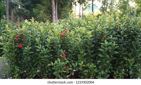 Ixora is a genus of flowering plants in the Rubiaceae family.