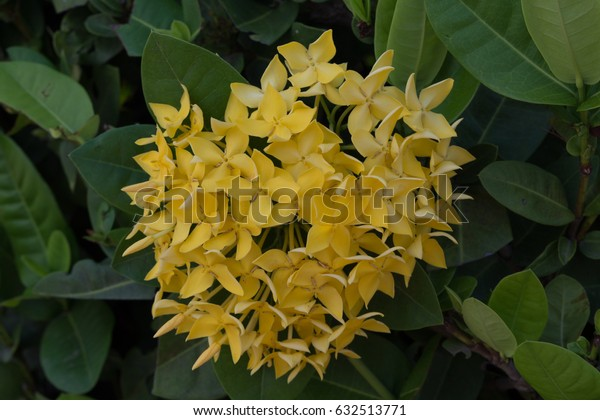 Ixora, yellow spike flower.