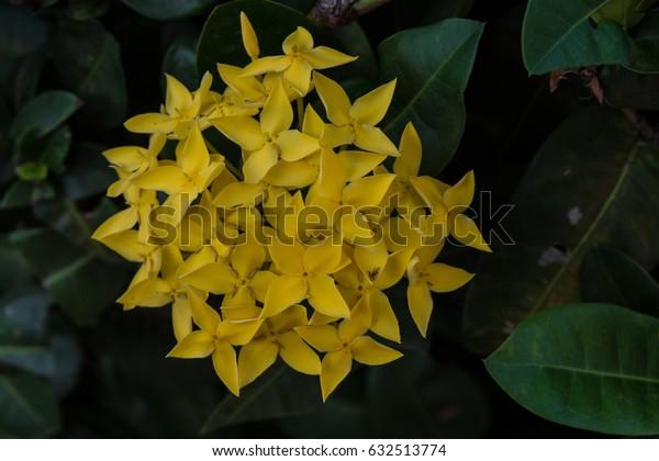 Ixora, yellow spike flower.