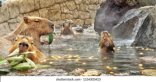 IZU, JAPAN - JANUARY 28, 2018: Capybaras enjoy Japanese hot bath and eating at Izu Shaboten zoo