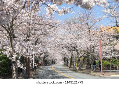 Izu Plateau Cherry Tree Lined Road