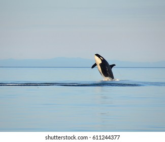 J19 Shachi, a member of J-Pod of the endangered community of killer whales knows as the Southern Residents, breaches in the Strait of Juan de Fuca between Washington and British Columbia, Canada.