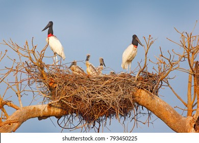 Jabiru family in nest. Parents with chicks. Young jabiru, tree nest with blue sky, Pantanal, Brazil, Wildlife scene from South America. Animal behaviour in nature. Nesting season in South America.
