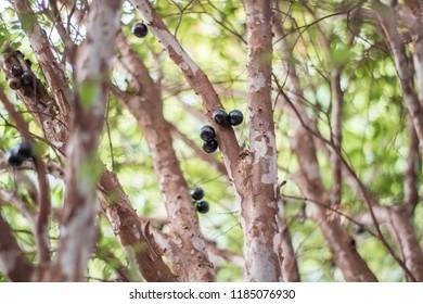 Jaboticaba Brazilian black fruit