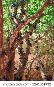 Jaboticaba brazilian tree full of fruits on ripe. Jaboticaba is the native Brazilian grape tree.
