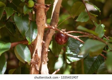 Jaboticaba brazilian tree full of fruits on ripe.