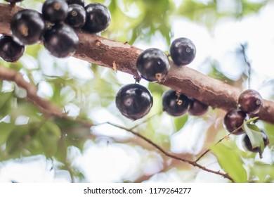 Jaboticaba, fruit native to Brazil, fruit of tropical climate