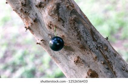 Jaboticaba  is the native Brazilian grape tree. Plinia cauliflora. Fruit. Exotic. Jabuticaba in the tree ready to be harvested.